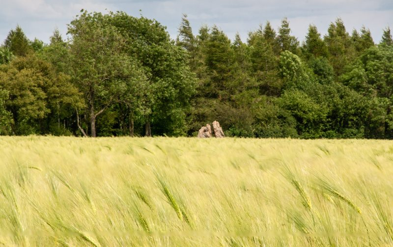 looking over a wheatfield towards a neolithic stone