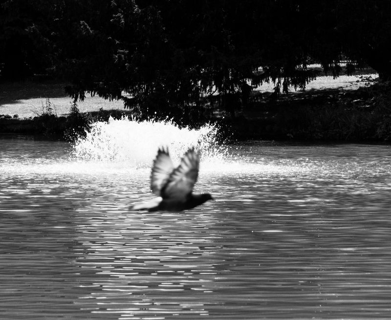 Bird flying past a fountain in a lake at Pitville Park