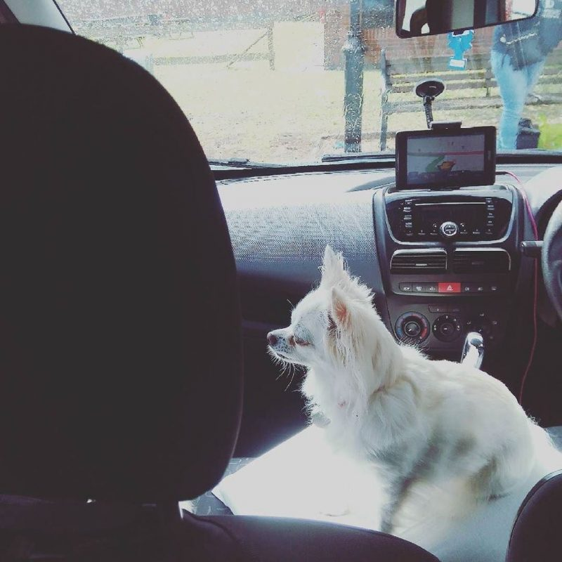 Peppa the chihuahua sitting on the front seat of the van