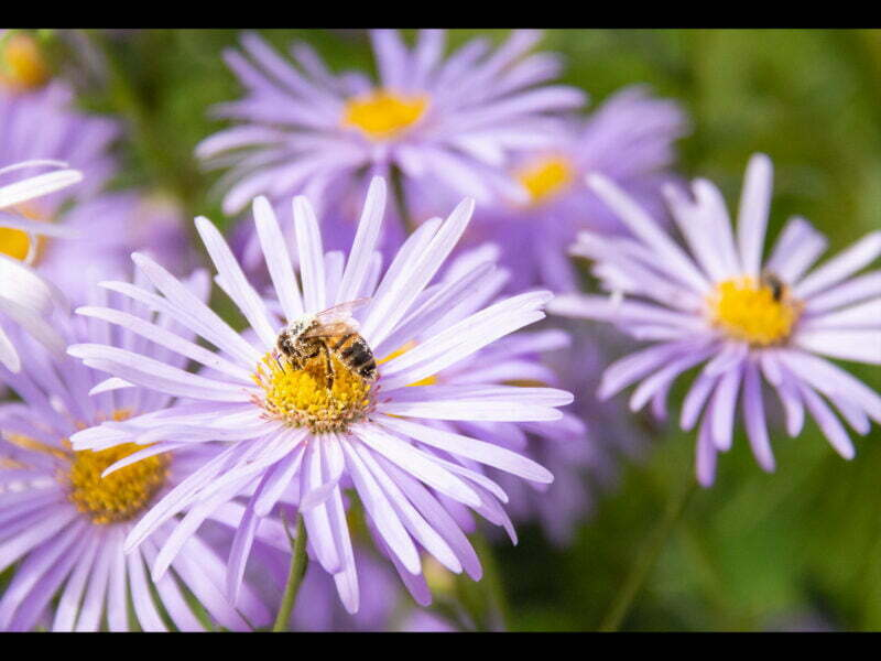 A bee covered in pollen sitting on a flower with lilac coloured petals