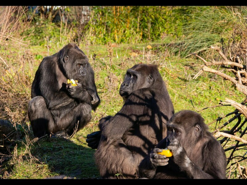 A gorilla family sitting eating