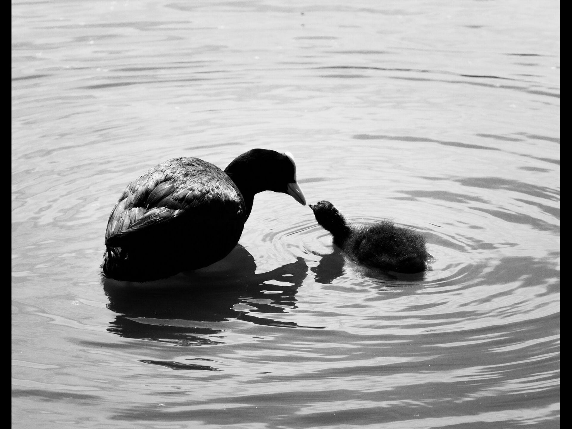 black and white image of a mother and baby bird seemingly kissing