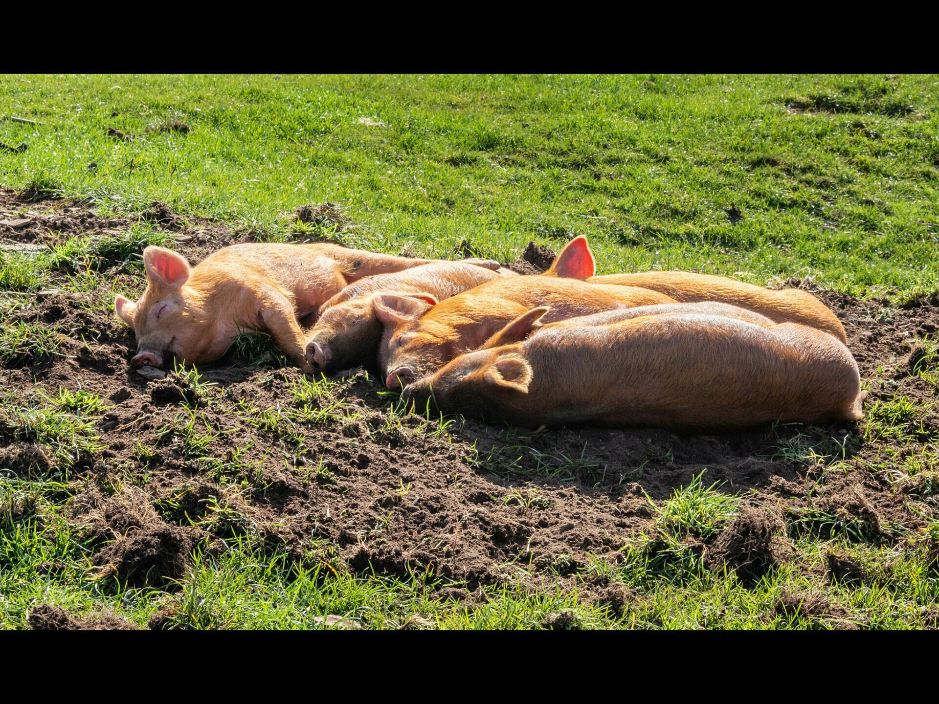 Piglets asleep in the sun