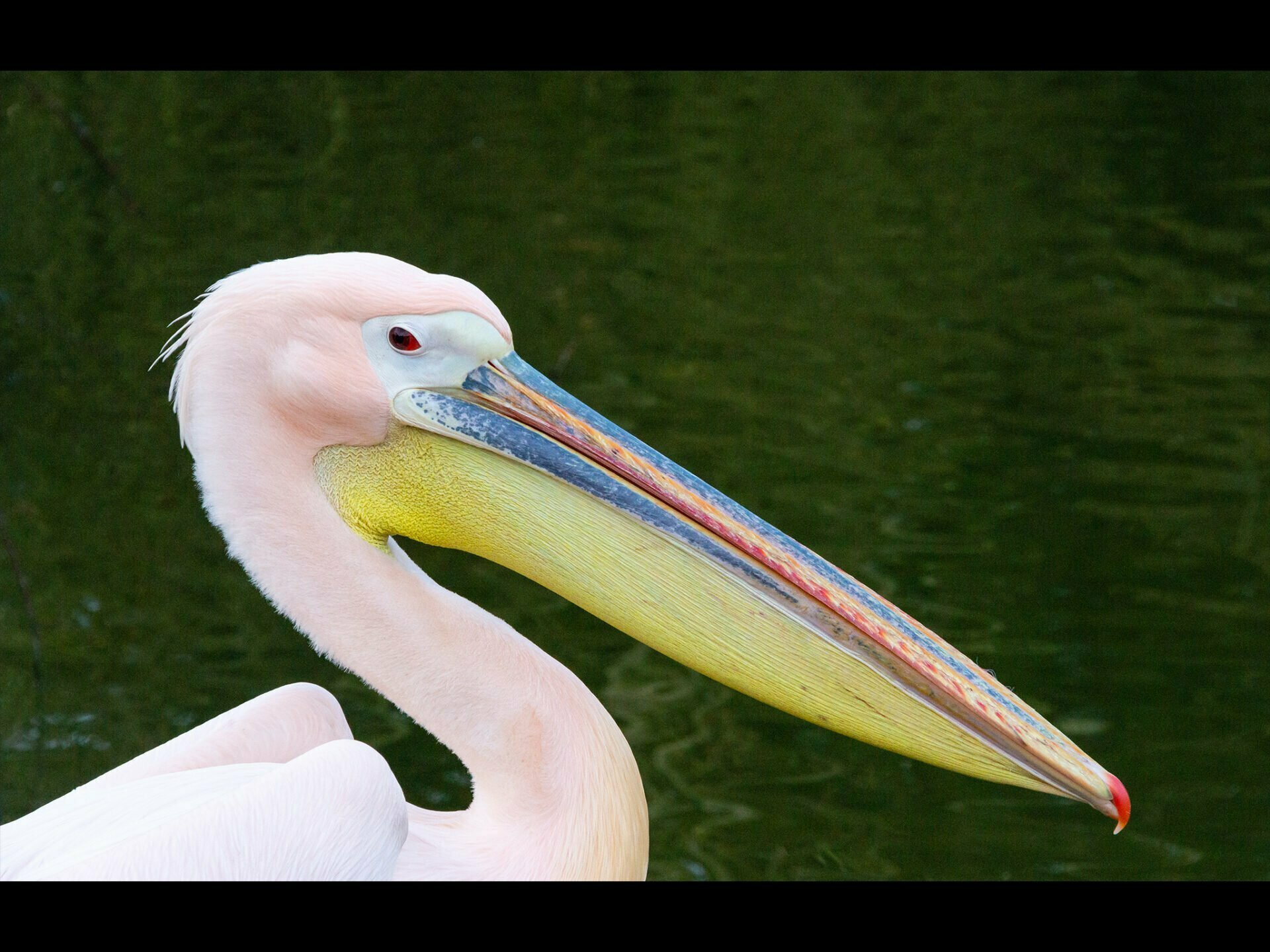 closeup of a pink pelicans head