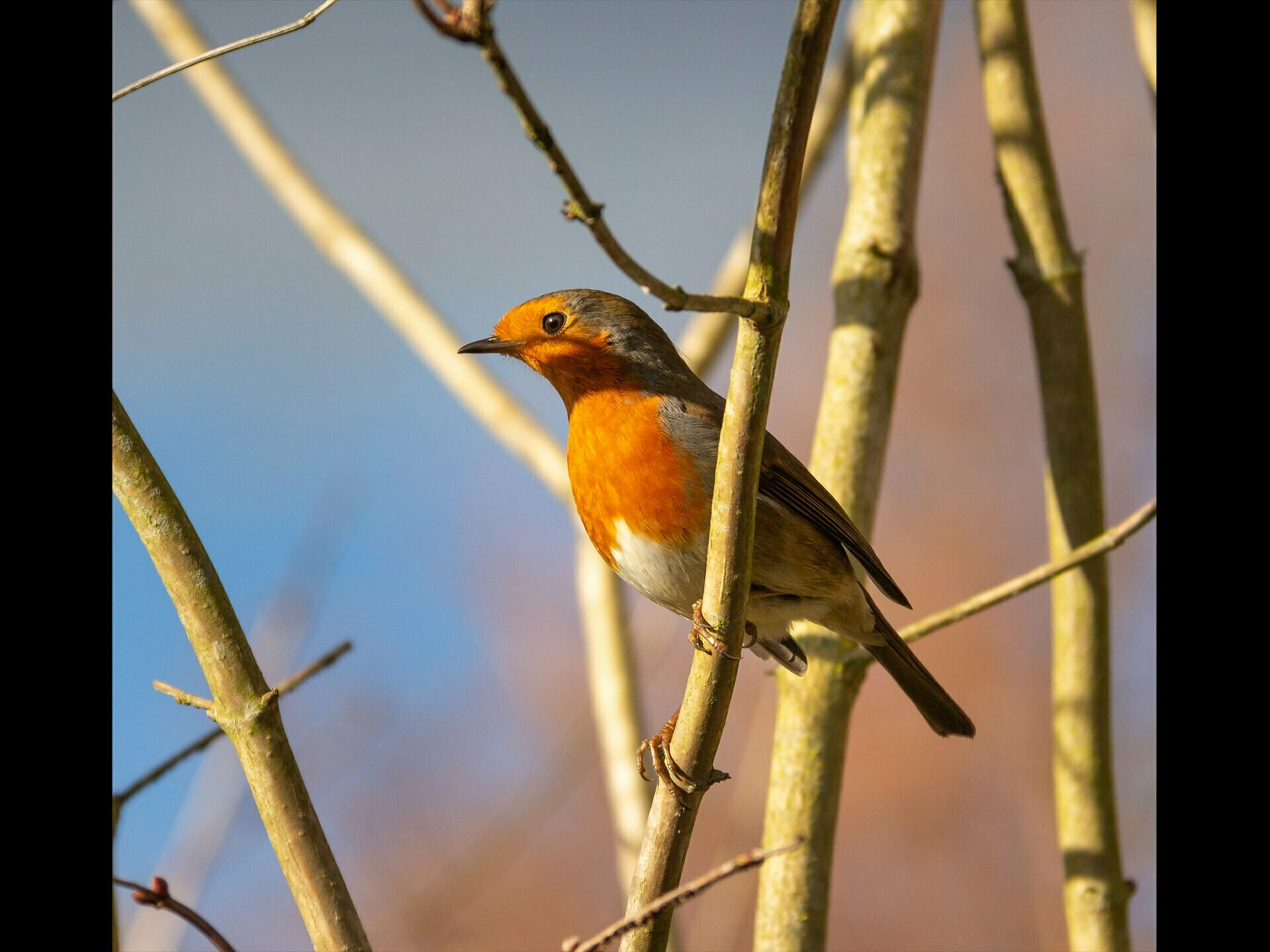 A Robin sitting on a branch