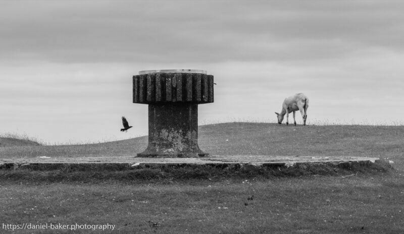 The top of Cleeve hill with a bird flying past and a sheep grazing