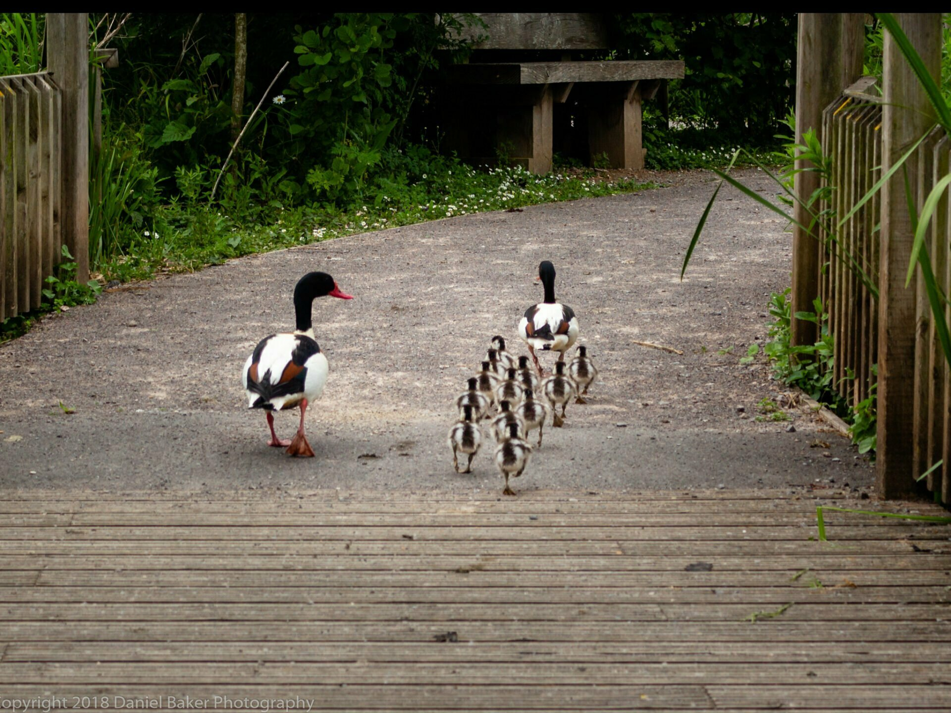 A duck watching her ducklings walk in a line