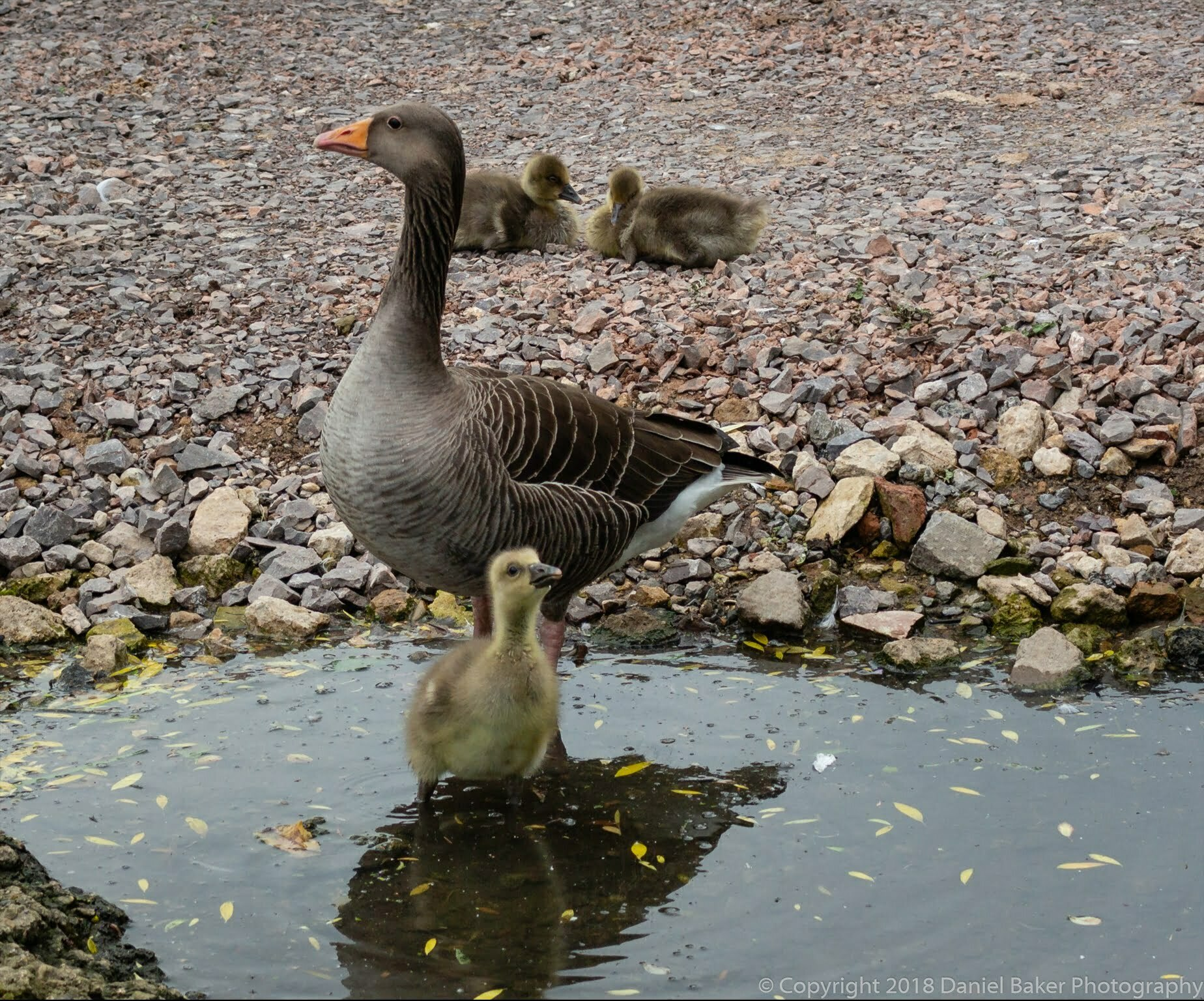 A mother goose with her goslings