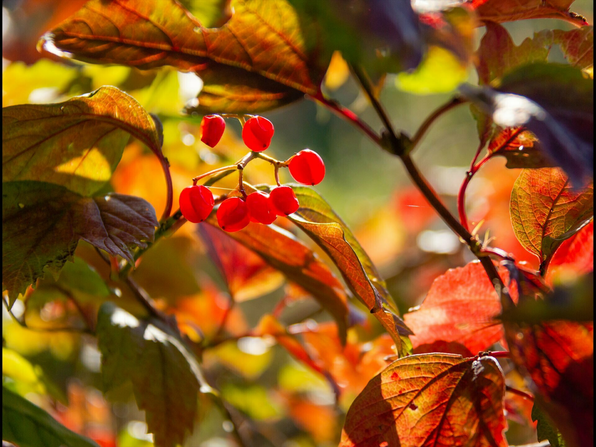 Autumn coloured leaves and red berries