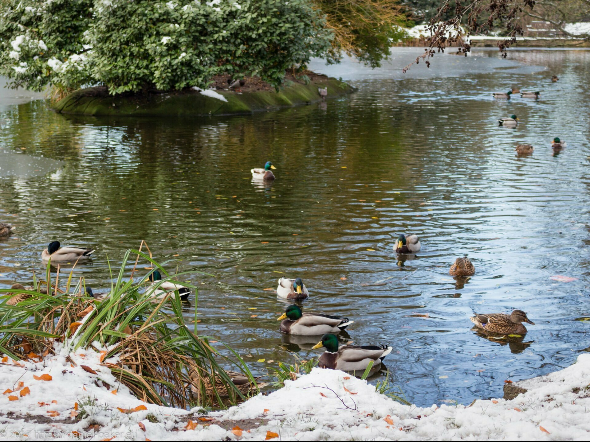 A pond with ducks surrounded by snow