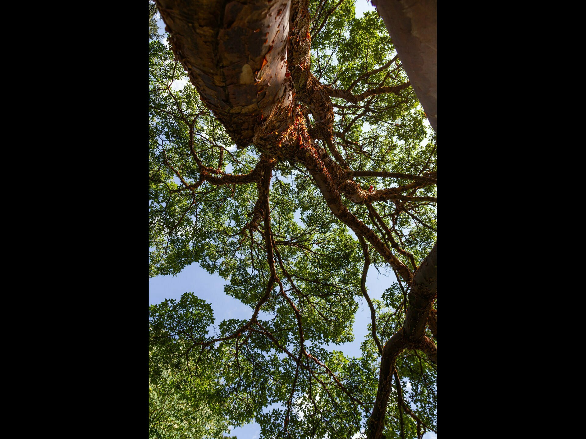 Looking up at tree branches from below with blue sky above