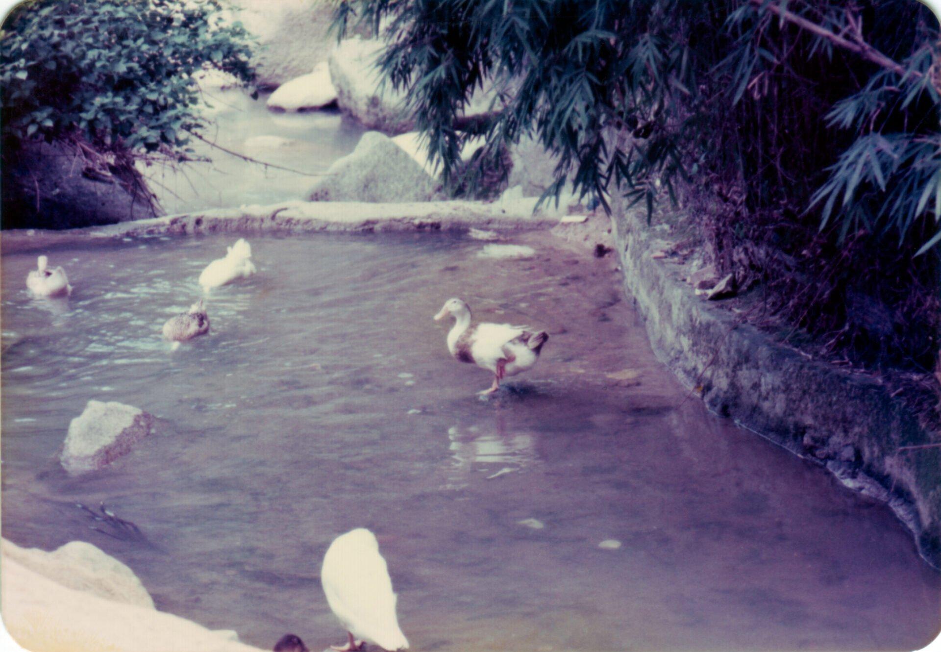 Ducks at Shatin Hong Kong 1985 June