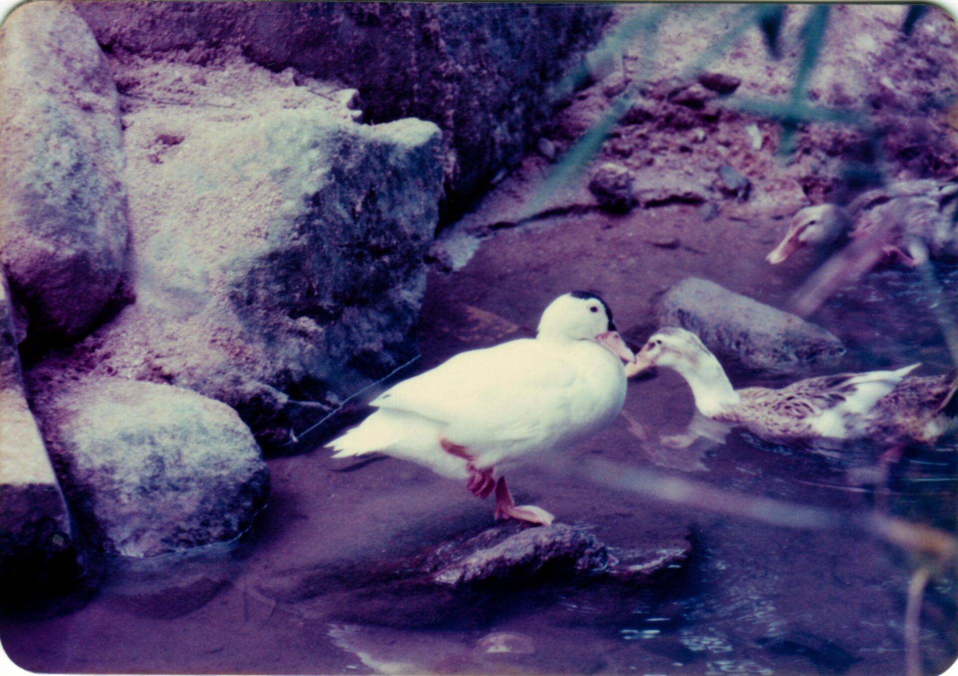 Ducks at Shatin Hong Kong